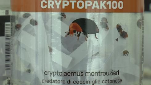 Cryptolaemus montrouzieri