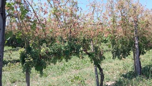 Danni su vite causati dalla Popillia japonica