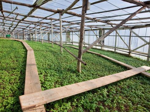 Basilico prodotto in serra in una azienda del ponente ligure