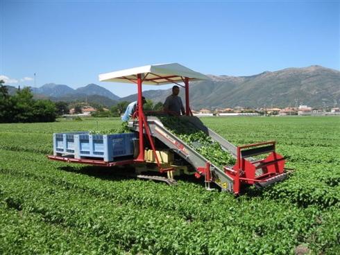 Produzione e raccolta di basilico in pieno campo in Liguria