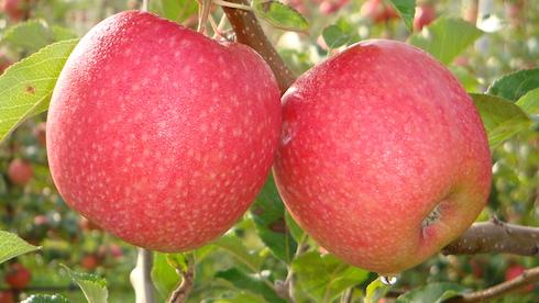 Coltura a frutto: melo