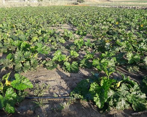 Zucchine: parcellone non trattato. (Foto: Francesco Maugeri)