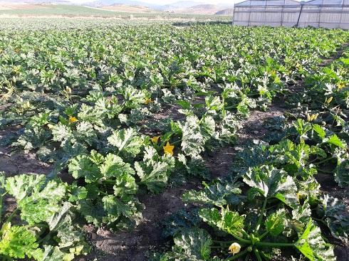 Zucchino trattato con T34 Biocontrol di Biolchim. Ottimo lo sviluppo vegetativo e lo statos anitario della coltura (Foto: Francesco Maugeri)