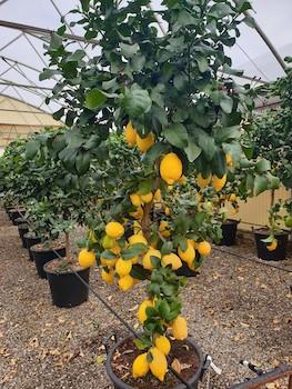 Limone ornamentale