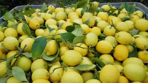 Raccolta di limoni