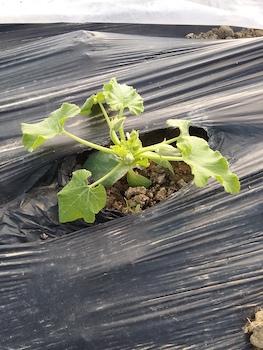 Zucchino in post trapianto