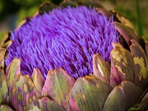 Capolino di carciofo, una orticola, in fioritura