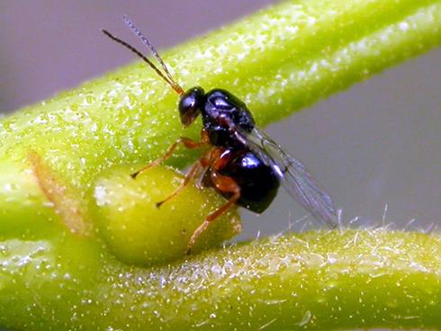 Cinipide del castagno, un insetto che ha messo in ginocchio la castanicoltura italiana