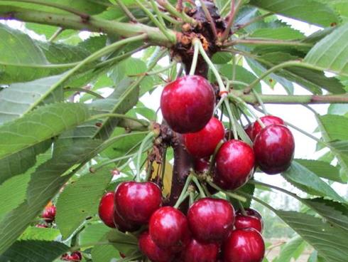 Royal Tioga, nuova varietà di ciliegio distribuita da Geoplant, Vivai F.lli Zanzi e Vivai Battistini