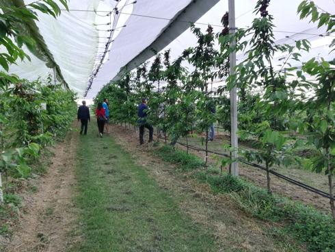 Impianto di ciliegio di Royal LaFayette presso vivai F.lli Zanzi a Ferrara