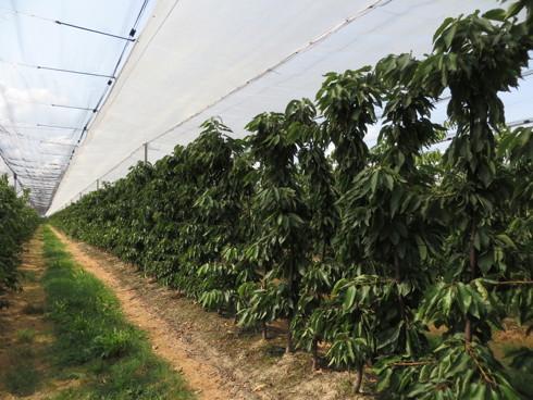 Impianto di ciliegio ad altissima densità creato da Salvi Vivai