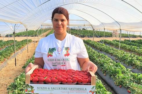 Santorsola, produttore di fragole a Policoro