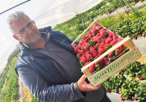 Oliveto, produttore di fragole a Policoro