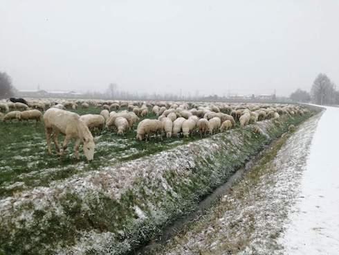 Pecore e campi innevati - Coldiretti Veneto
