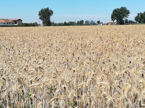 Campo di grano diserbato efficacemente