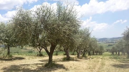 In olivicoltura l'uso di glifosate è utile soprattutto nella pulizia delle piazzole di raccolta e, in area Xylella, per eliminare la flora spontanea ospite intermedia della sputacchina