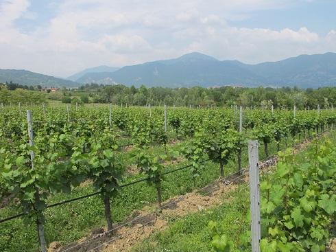 In viticoltura glifosate può essere impiegato in alternanza alle lavorazioni meccaniche, semplificando enormemente la gestione dei sottofila