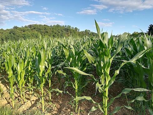 L'appezzamento di Colloredo di Monte Albano, in provincia di Udine, seminato con Mon810, ibrido Bt targato Monsanto
