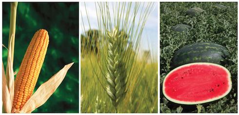 Si amplia l'offerta varietale di Syngenta su molteplici raggruppamenti colturali
