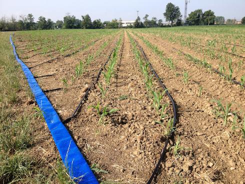 Impianto di irrigazione a goccia per il mais, utilizzabile anche per le pratiche di nutrizione vegetale