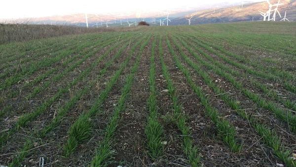 Esempio di semina di cereali in aree collinari del Centro Italia, a rischio erosione medio-alto