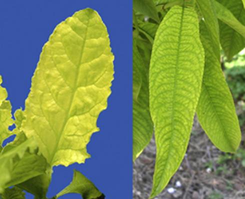 Minor produzione di clorofilla