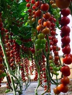 Grappoli di pomodori