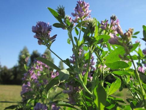 Alcune piante di erba medica in piena fioritura
