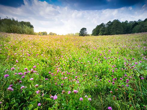 Un bel campo di erba medica in fiore, pronto per essere raccolto