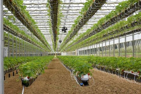 Fragole in coltivazione idroponica, serra MultiArt di Europrogress