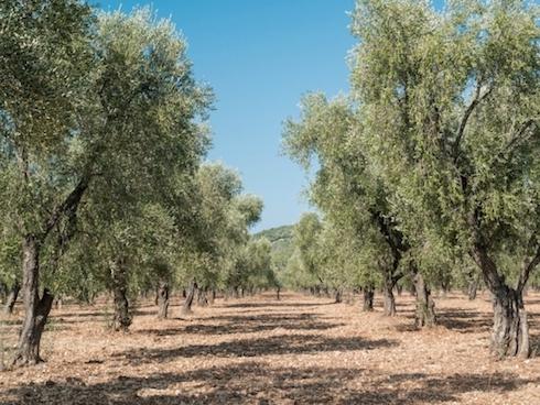 Un oliveto tradizionale