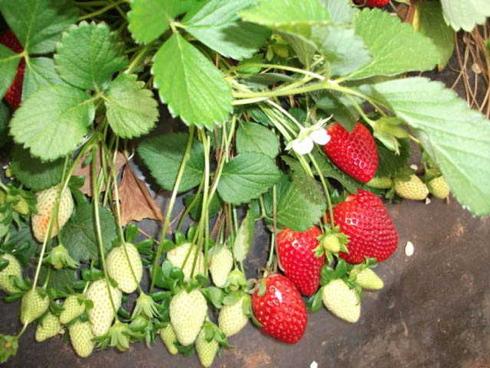 Florida Fortuna, varietà precoce di fragola molto coltivata al Sud Italia e Sicilia in primis