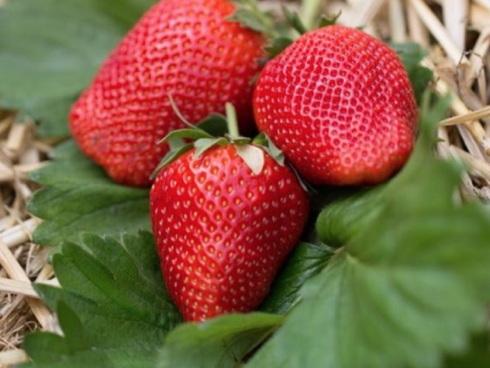 varietà di fragola Sibilla* distribuita in Italia da Geoplant e Salvi Vivai