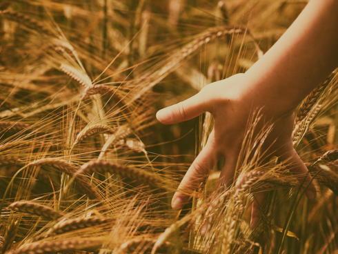 grano frumento mano