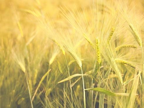frumento grano