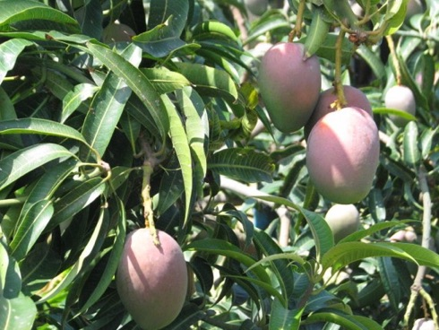 Mango made in Sicily, coltivato in Sicilia