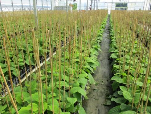 Coltivazione in ambiente protetto di kiwi Boerica*