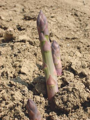 Asparagi Geoplant
