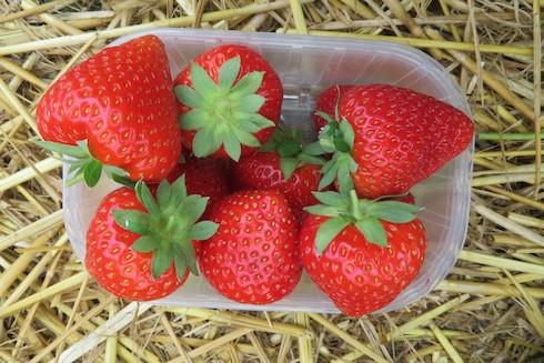 Talia, la nuova varietà di fragola targata Geoplant