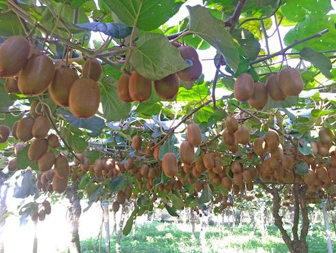 Kiwi varietà Boerica