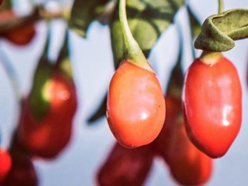Frutti freschi di goji, un superfood ricco di antiossidanti