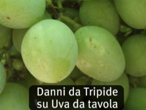 News gowan italia - Uva da tavola italia ...