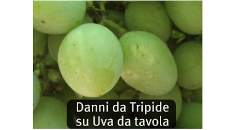 danni dei tripidi su uva da tavola
