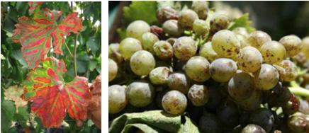 Uva e vite con sintomi