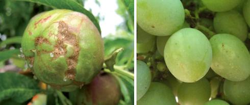 Danni dei tripidi su pesco e uva
