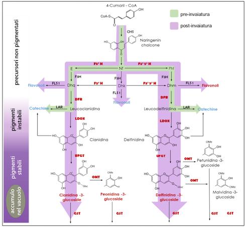 Rappresentazione schematica dei processi biochimici e dei geni coinvolti nella pathwaybiosintetica dei favonoidi