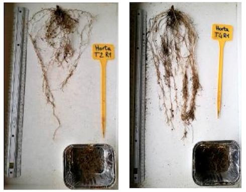 Effetto di una corretta nutrizione sull'apparato radicale: a sinistra, radice non trattata. A destra, radice trattata