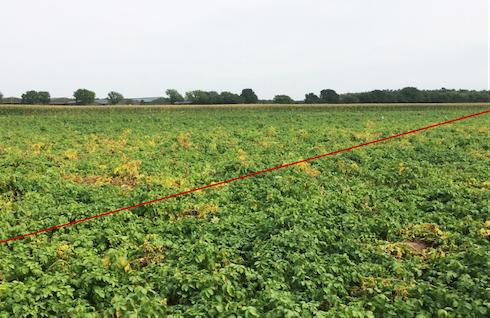 Coltura di patate in Olanda