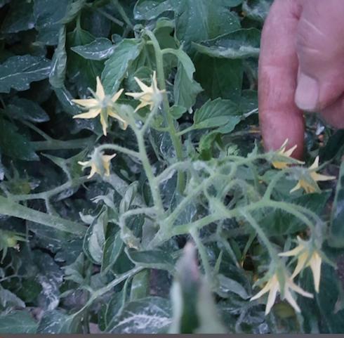 biforcazione dei grappoli fiorati di pomodoro varietà Docet dopo applicazioni di IlsaPolicos