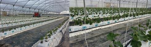 Accrescimento vegetativo di cetriolo, a sinistra tesi aziendale e destra tesi Ilsa
